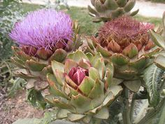 Blooming artichoke - used this one as inspiration for my own artichoke tattoo!