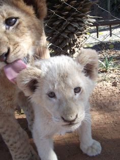Playing with lion cubs at the Lion Park, Johannesburg, South Africa