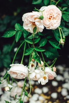 A Clothes Horse: Posies Of Roses