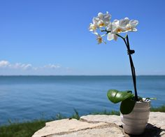 White Mini Orchid Looking at the Lake
