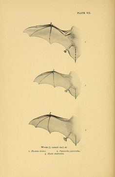 n141_w1150 by BioDivLibrary on Flickr. Bat wings