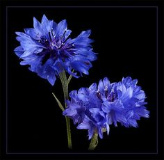 Corn flowers - I love cornflowers!