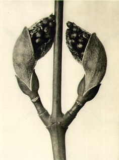 Karl Blossfeldt - Acer rufinerve, Maple Branch with leaf buds magnified ten times