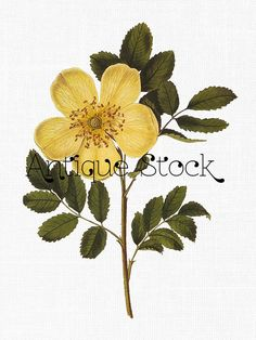 Yellow Flower Digital Graphic - Yellow Beach Rose Drawing - Botanical Clip Art - Vintage Illustration 1800s by Antique Stock