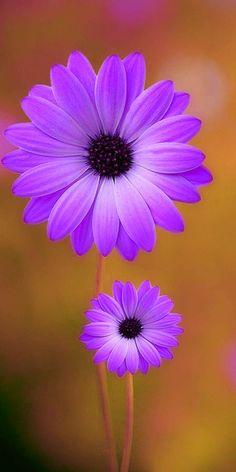 Beautiful Flowers Wallpapers, Beautiful Rose Flowers, Lavender Flowers, Flowers Nature, Exotic Flowers, Amazing Flowers, Flower Images, Flower Pictures, Lotus Flower Art