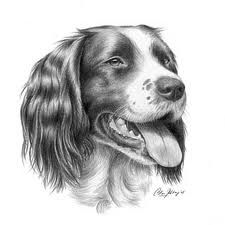 How to draw aEnglish Springer Spaniel - Yahoo Image Search Results Springer Spaniel Puppies, English Springer Spaniel, Animal Sketches, Animal Drawings, Chalk Drawings, Art Drawings, Puppy Drawing, Dog Portraits, Pictures To Paint