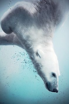Polar bear diving into frozen water [Oso polar echándose un clavado en el agua helada].