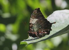 Butterflies of Amazonia - Hypna clytemnestra  MARBLED LEAFWING