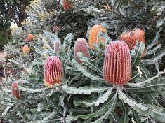 Banksia menziesii at the Australian Garden.