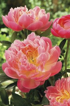 Hawaiian coral peonies...had these in my wedding bouquets..so pretty--I wonder what locations they can grow in?