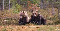Pictures of brown bears from Kuhmo, Finland. Black Bear, Brown Bear, Cinnamon Bears, Bear Photos, Sit Up, Siblings, Make Me Smile, Photo Galleries, Gallery