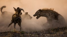 "Wildlife Photographer of the Year 2006 Award : This image was ""Highly Commended"" in The Mammals Behaviour Category. This picture was shot while following a Pack of African Wild Dogs in the North-Western part of Botswana in November, 2005. This photo belongs to a great series showing the Fight between the Dogs and the Hyenas."