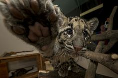 I'll boop your nose! Two 14-week-old clouded leopard cubs, Riki-san and Haui-san, recently debuted in the nursery.