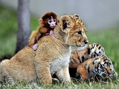 A baby monkey, a lion cub and tiger cubs at the Guaipo Manchurian Tiger Park in China.