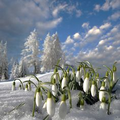 'February Fair-Maids' by Igor Zenin Winter Pictures, Nature Pictures, Beautiful Pictures, Snow Drops Flowers, Winter Szenen, Nature Artists, Winter Beauty, Winter Landscape, Early Spring