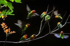 3rd prize winner: Bernard Poh. Species: Lovebirds, Taken with a Nikon D300