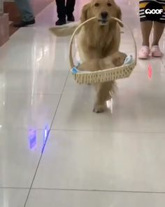 cute golden retriever puppy cut dog video - Cats and Dogs House Cute Funny Puppy Videos, Cute Funny Dogs, Cute Animal Videos, Cute Funny Animals, Cute Baby Animals, Animals Dog, Cute Dogs And Puppies, Pet Dogs, Doggies