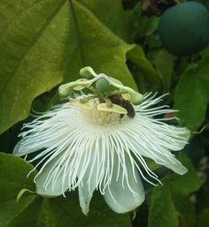 Passiflora eichleriana | Passionflower | Passion Vine | 20_Seeds