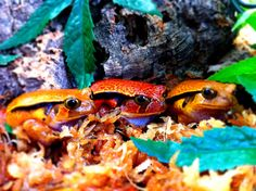 False Tomato Frogs at Realm of Reptiles in Milton Keynes