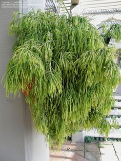 View picture of Link Cactus (Rhipsalis teres f. capilliformis) at Dave's Garden.  All pictures are contributed by our community.