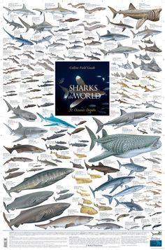 """Sharks of the World - 3: Oceanic Depths"" (Korck Publishing) illustrated by Marc Dando"