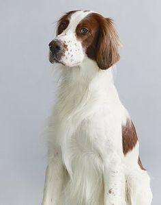 Endangered dog breeds: Irish red and white setter