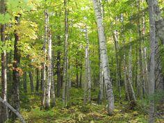 Birch Maple Forest