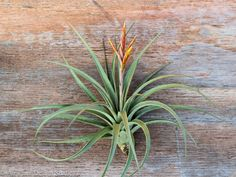 The Tillandsia Vernicosa. Big, beautiful, and getting ready to bloom! #airplant #tillandsia #epiphyte