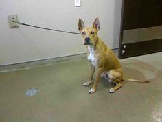 RAHLOW-ID#A695578    My name is RAHLOW.    I am a male, tan and white Pharaoh Hound mix.    The shelter staff think I am about 10 months old.    I have been at the shelter since Jan 25, 2013.