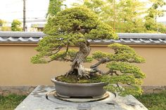 "五葉松 千代の松 Goyo-matsu ""Chiyo-no-matsu"" (Japanese Five Needle Pine) - 盆栽美術館 - bonsai museum   par Norio.NAKAYAMA"