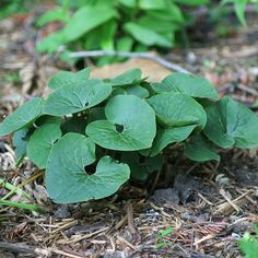 Wild Ginger - SHADE -Hailing from the woodlands of North America, wild ginger (Asarum canadense) is one tough plant. It produces fuzzy, heart-shaped leaves that look great from spring to fall. And, it's rarely bothered by deer and rabbits. This slow grower eventually forms an impressive clump. It grows best in Zones 2-8 and reaches 6 inches tall.