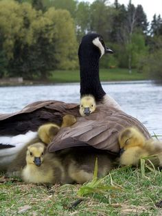 A mother Canadian Goose protecting her babies underneath her wings.