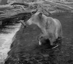 The Pitt Grizzly is back caught on camera fishing Aug 25. #comefishwithus #grizzlybear #flyfishing #pittriverlodge