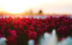 Download wallpapers red tulips, 4k, field, bokeh, blur, sunset