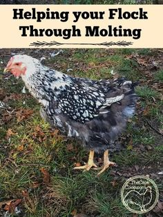 Helping your Flock Through Molting