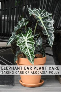 My elephant ear plant care guide shares everything you need to know to grow the four elephant ear varieties: colocasia, alocasia, caladium, and canthosoma.