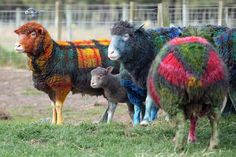 The most stylish sheep I ever did see! | Grant Bell's Tartan Sheep from West Barns, East Lothian, Scotland.