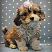 Cavachon Welpen Zum Verkauf Von Seriosen Zuchtern Pets4you Com Haveshons Cavachon Haveshons Pets4youc Cavachon Puppies Cavachon Teddy Bear Puppies