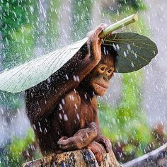 Orangutan in The Rain | Via @outofwild | Photo by Andrew Suryono.