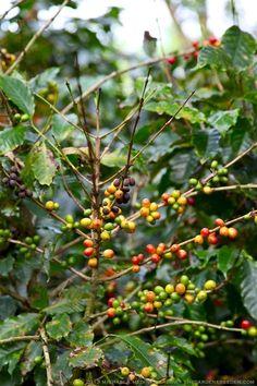 Coffee Harvest at Finca Rosa Blanca Coffee Plantation in Costa Rica. photos/post michaela @ thegardenerseden.com