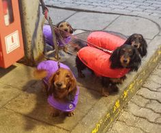 Our friends in Denmark looking stylish in their Aspen coats! http://www.simplyspiffingdachshunds.co.uk/shop/autumnwinter-collection/the-aspen-dachshund-coat/