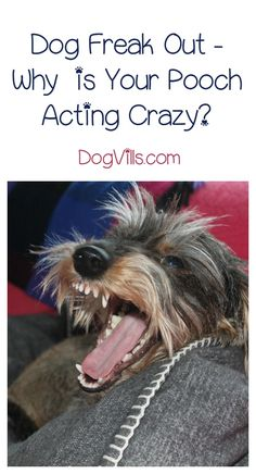 The dog freak out can happen for a number of reasons. Let's take a look at what can cause the dreaded dog freak out. One cause might surprise you. Cat Care Tips, Pet Care, Pet Tips, Dog Attack, Dog Pee, Oils For Dogs, Dog Training Tips, Potty Training, Training Schedule