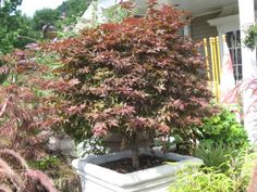 Acer palmatum Rhode Island Red:  Japanese Maple Rhode Island Red is an outstanding new dwarf Japanese Maple selection. This upright tree boasts very dense, compact branching which yeilds a round-to-ovate outline. It has mid-size palmate leaves with a bright red, spring flush that darkens as leaves mature. Fall foliage is outstanding orange to red, and in winter, dark red stems add drama to the scene.