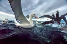 Photo @michaelmelford Off the coast of Kiakoura New Zealand a Wandering Albatross watches as two Northern Giant Petrels fight over food. The Wandering Albatross have the largest wing span of any living bird- 8ft. - 11ft (2.5-3.5m). #newzealand #albatross #birds #water #nature @natgeocreative @thephotosociety by natgeo