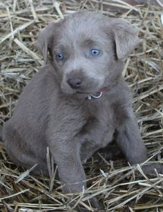 WALABS AKC Labradors serving the NW We have Silver lab, Chocolate lab, Yellow lab, Charcoal lab, White lab, and home of the ONLY pure bred Miniature Labrador puppies