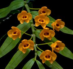 Dendrobium chrysanthum; By André