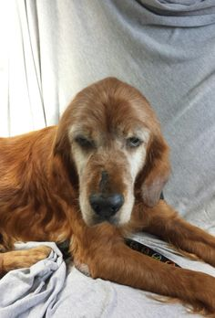 This is Xilo - 10 yrs. He was found wandering and has been on his own for a while. He is being treated for heartworms, eye infections, intestinal parasites, an ear infection. He is neutered and rides well in a car. Adopt A Golden Birmingham, AL. - http://www.adoptagoldenbirmingham.com/orphans_detail.asp?id=523