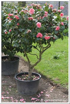 Fantastic Free of Charge Camellia care Concepts Camellia is actually a revered time tested shrub as well as woods that will cheers a new dishonest a Indoor Flowering Plants, Potted Trees, Flowering Trees, Trees To Plant, Camelia Tree, Camellia Plant, Privacy Plants, Pots, Carpe Koi