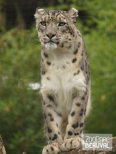 #Panthère des neiges - ZooParc de Beauval Plus