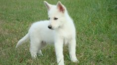 Baby White German Shepherd